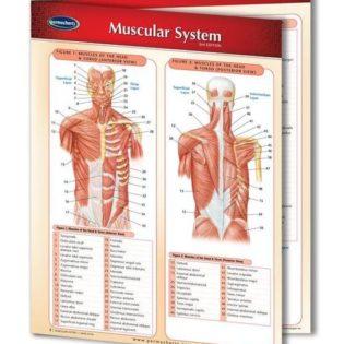 muscular-system-1_grande