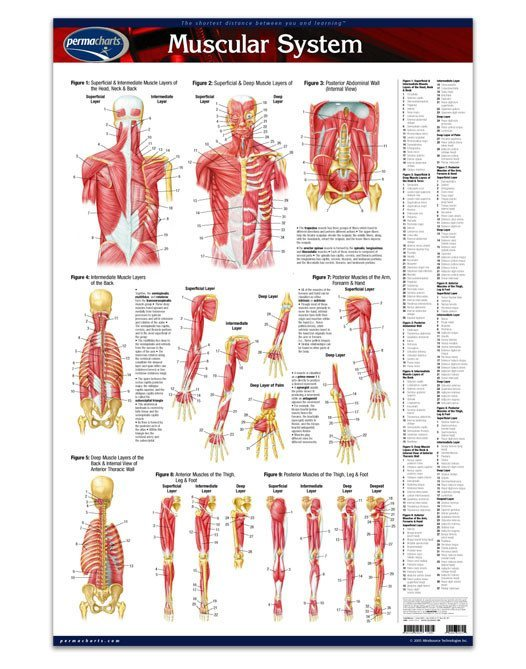 MUSCLE POSTER medicine-anatomy-muscular-system-poster-1
